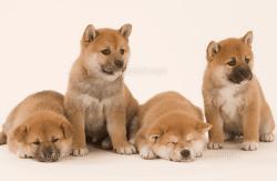 柴犬性格・特徴
