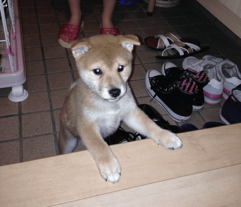 子犬の柴犬画像