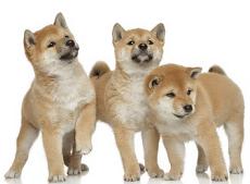 柴犬幼犬期