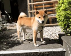 柴犬の写真撮影