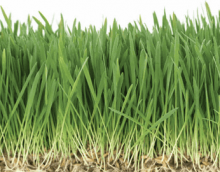犬が食べる草