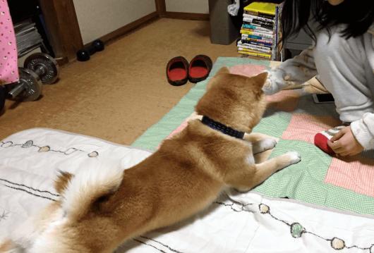 柴犬伏せっ!