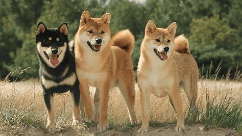 柴犬トレーニング