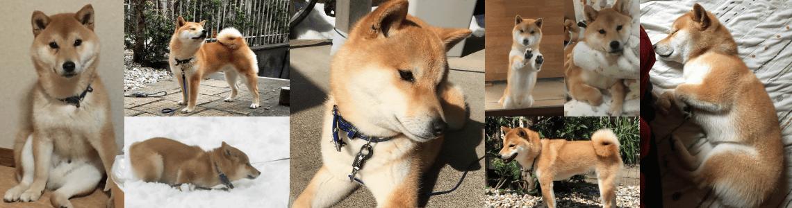 柴犬ブログ